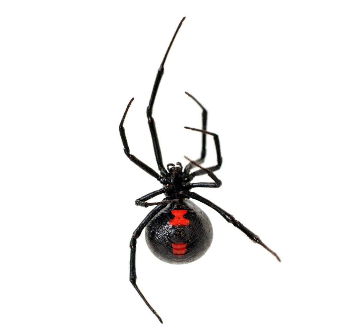desert black widow spider - photo #25