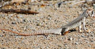 Santa Catalina desert iguana, Dipsosaurus catalinensis