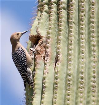 Gila Woodpecker & Saguaro Cactus
