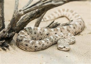 Sidewinder Rattlesnake Under dead branches