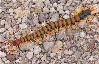 Giant Desert Centipede (Scolopendra heros)