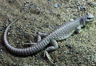 Desert iguana (Dipsosaurus dorsalis).