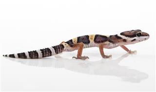 Leopard Gecko (Eublepharis macularius)
