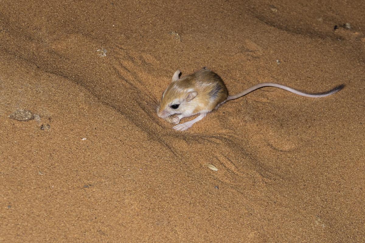 Desert Pocket Mouse Facts