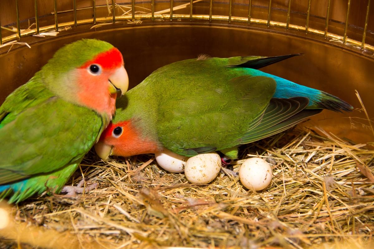 Lovebird Breeding Basics Explained - thesprucepets.com