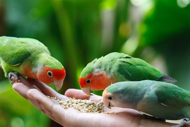Lovebird Agapornis