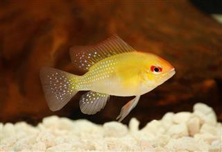 Golden Ram Dwarf cichlid