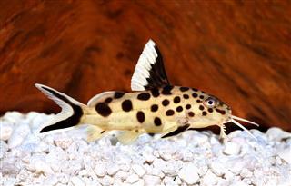 Cuckoo catfish Synodontis multipunctatus