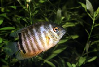 Banded Cichlid, young specimen