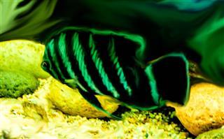 Zebra Tilapia