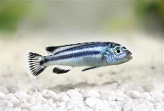 Blue gray mbuna malawi cichlid