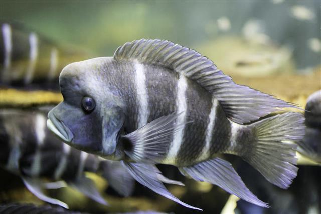 Frontosa fish (Cyphotilapia frontosa)