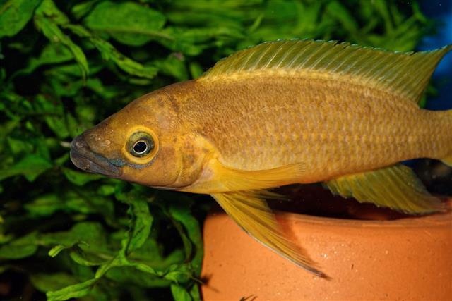 Neolamprologus fish