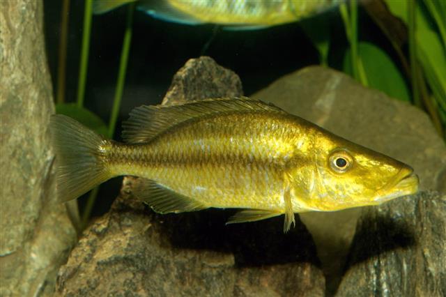 Dimidiochromis fish