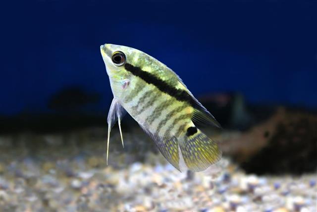 Festivum Cichlid Fish Festive Cichlid