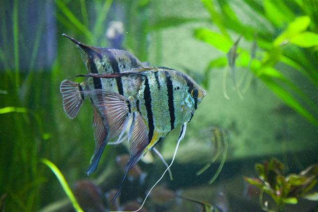 Pterophyllum Altum Angelfish