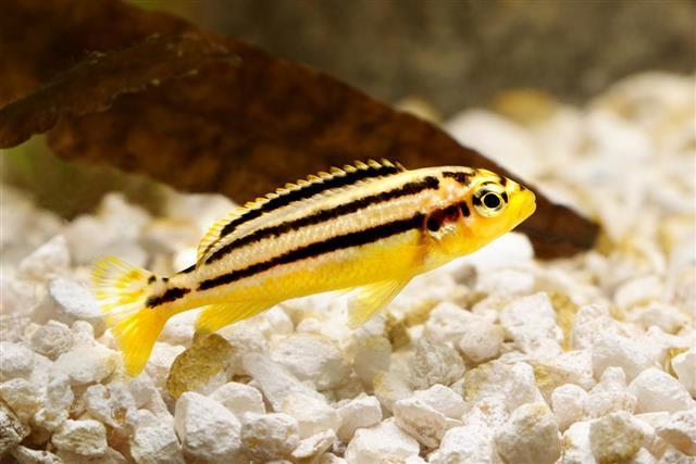 golden mbuna aquarium fish