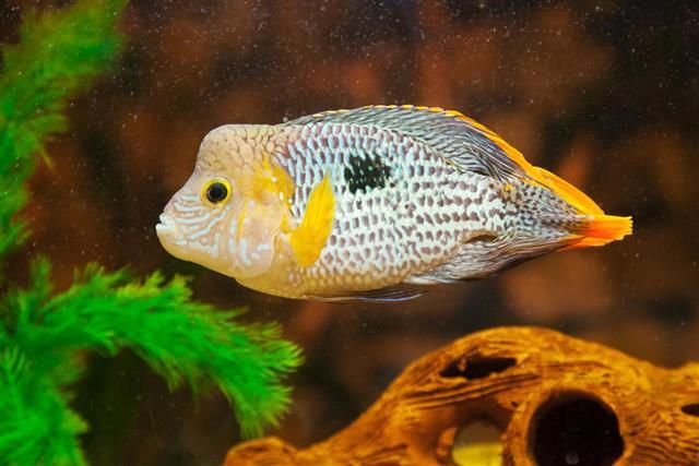Terror Cichlid in aquarium