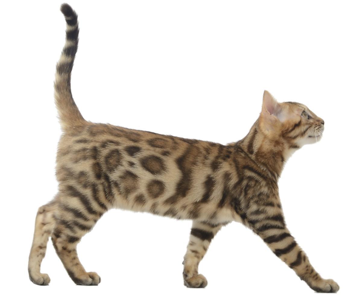 Cool Male Bengal Cat Names