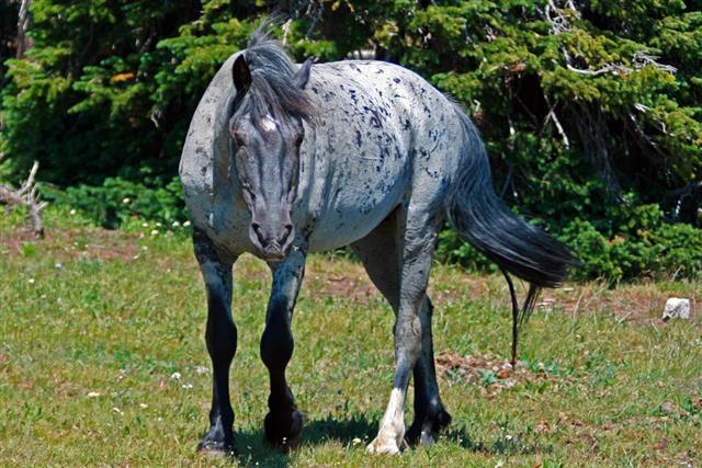 Gray Mustang Horse