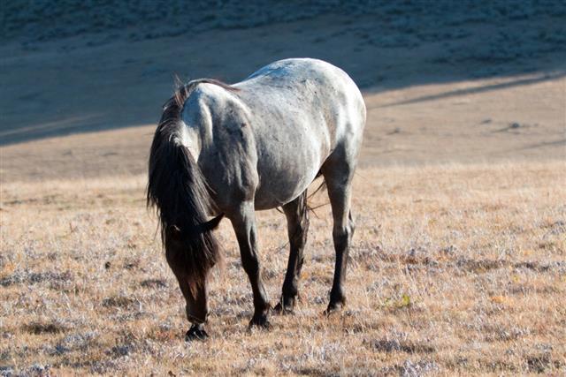 Wild Horse Blue Roan