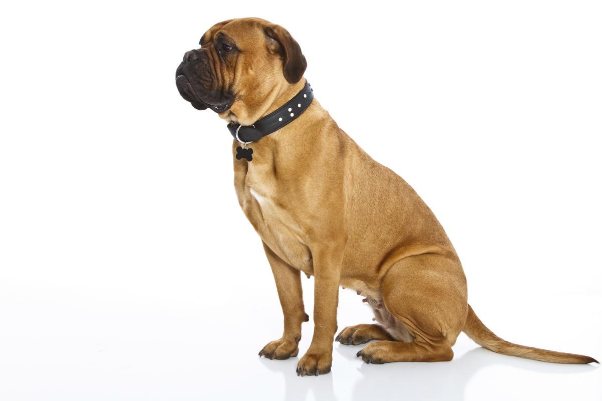 Types of mastiff proud bull mastiff female dog geenschuldenfo Gallery