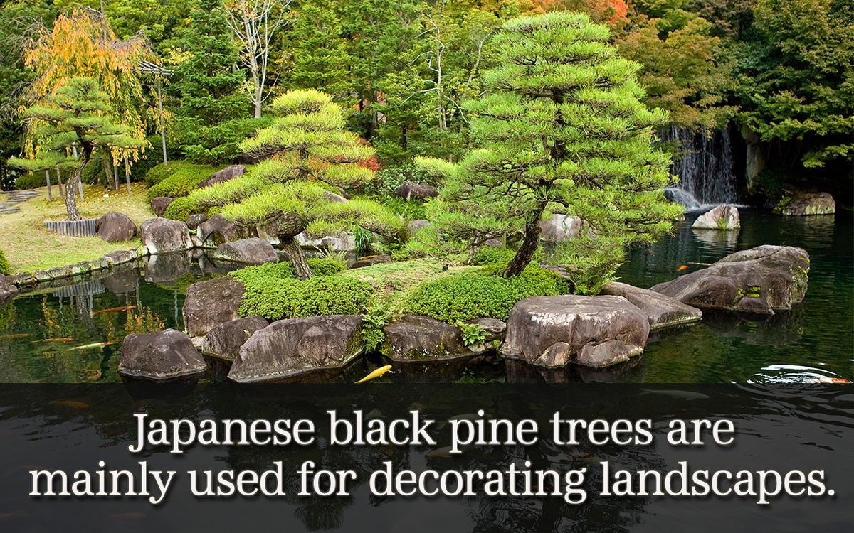 Types of Black Pine Trees