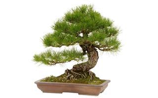 Japanese black pine in ceramic pot