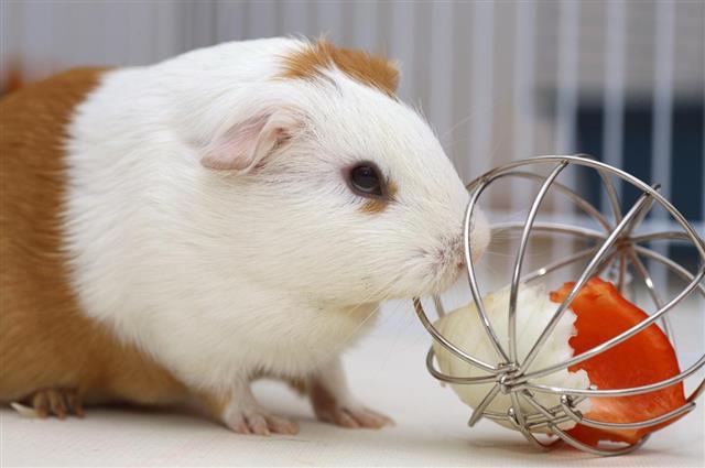 Playful guinea pig