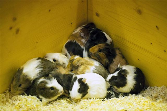Guinea pigs scared