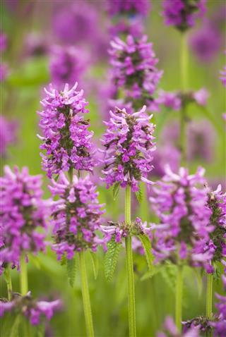 Alpine Betony Flowers
