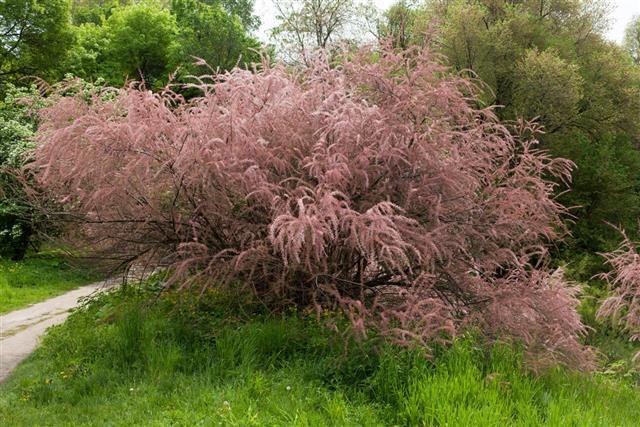Tamarix plant