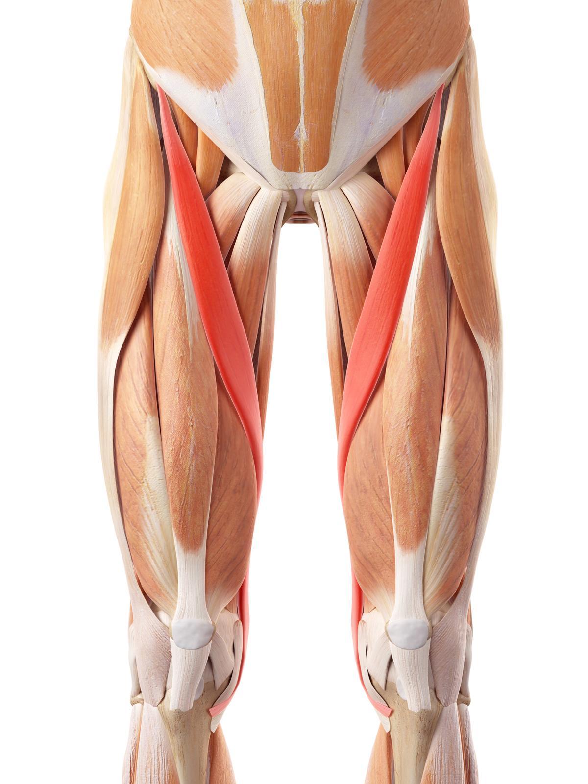 1200 486591468 sartorius muscle