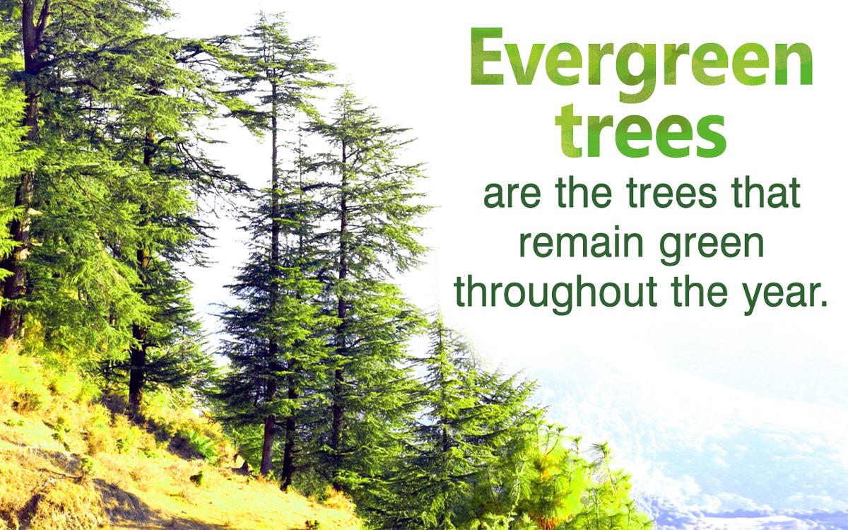 Evergreen Tree Identification