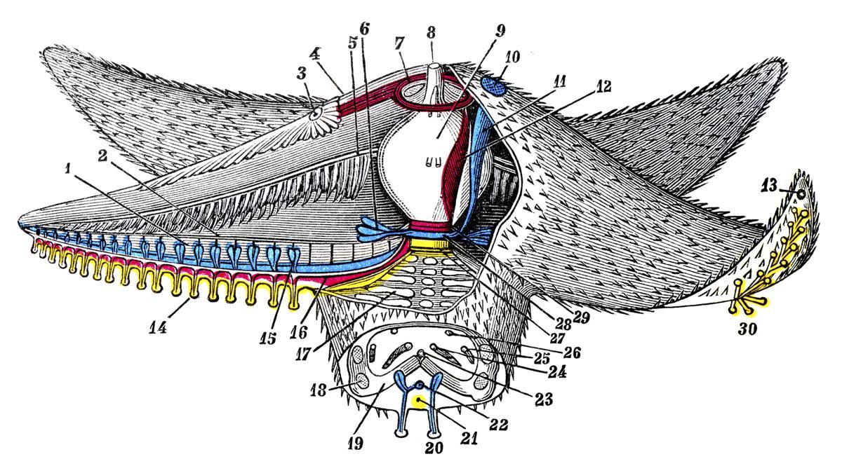 Starfish Anatomy