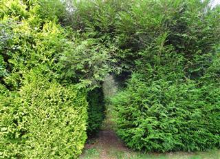 Garden arch, leylandii hedge