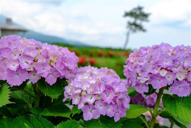 Monocot Purple Hydrangea