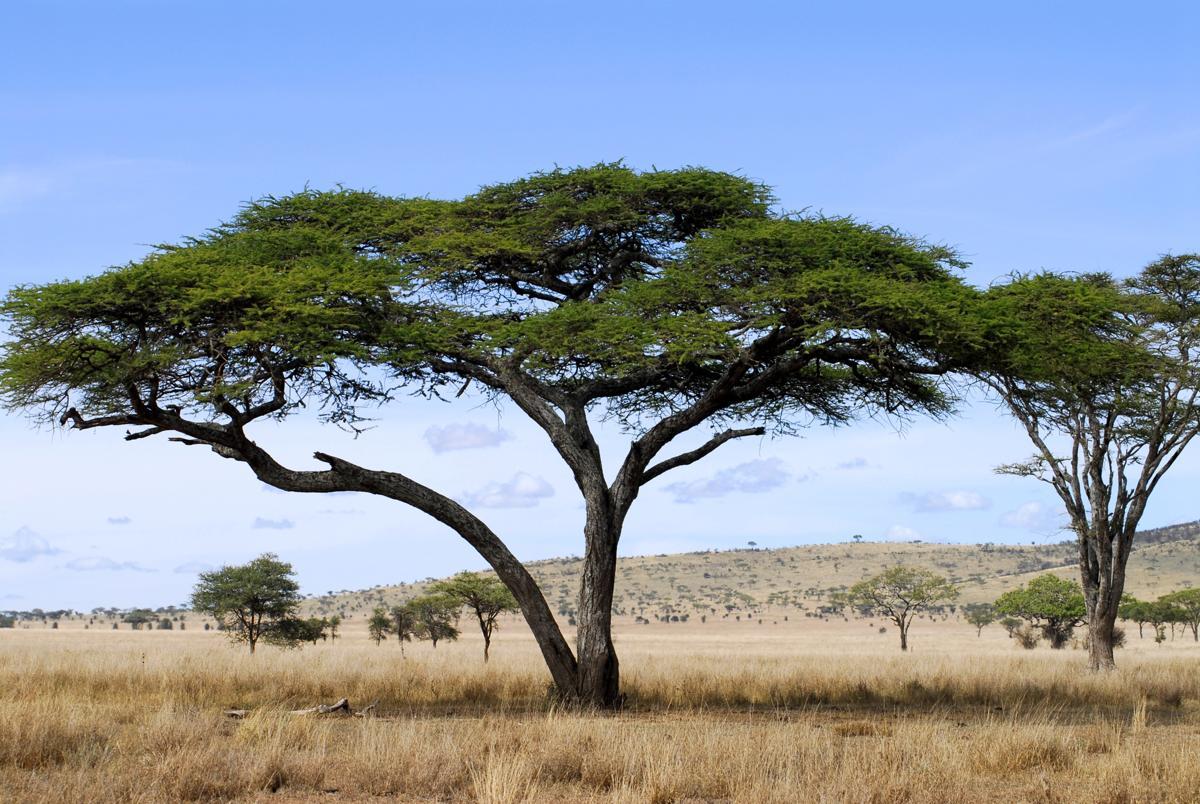Acacia Tree Facts