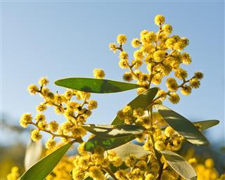 Yellow blossom of acacia tree