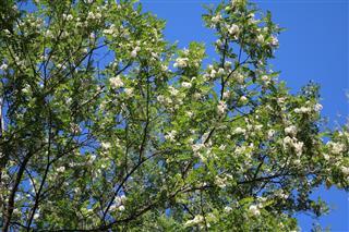 White blossom of acacia tree