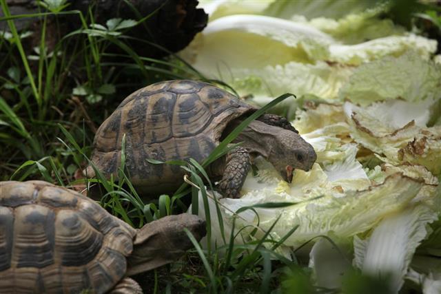 Russian tortoise???