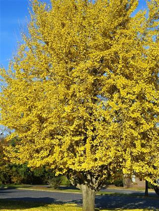Tall ginkgo tree