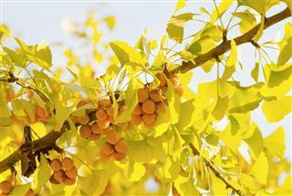 Fruits on ginkgo tree