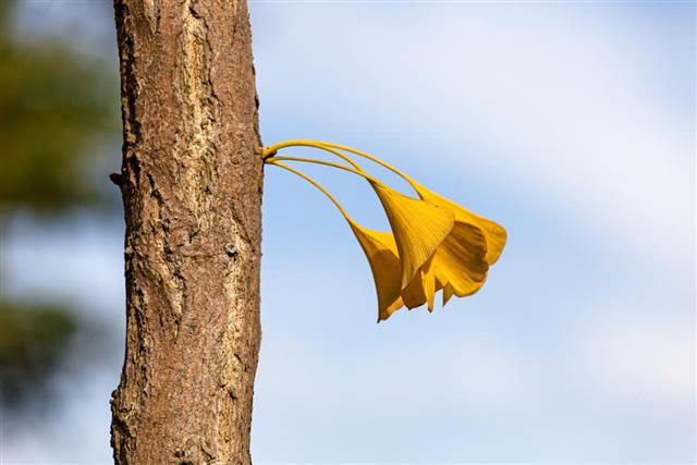 Ginkgo tree bark