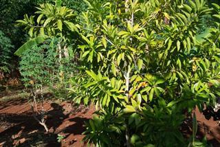 Allspice tree