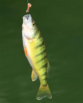 Perch fish facts for Yellow perch fishing secrets