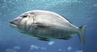 Swimming Fish Closeup
