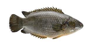 common climbing perch fish
