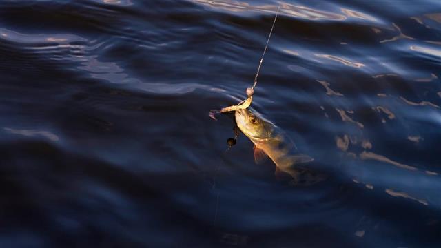 Perch caught