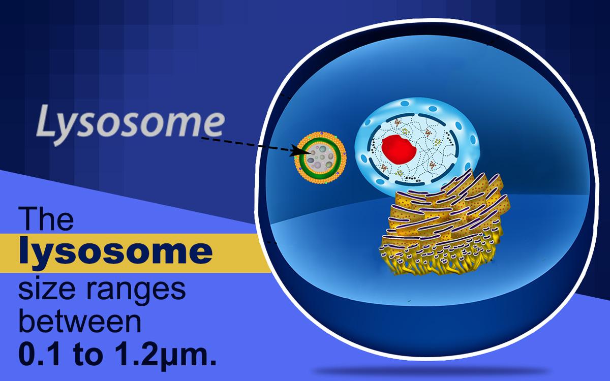 Structure du lysosome